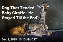 Abandoned Baby Giraffe Dies, BFF Right Next to Him