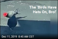 Vegas' Latest Show: Pigeons in Cowboy Hats