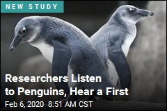 Researchers Listen to Penguins, Hear a First