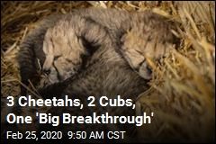 2 Cubs Represent 'Big Breakthrough' for Cheetahs