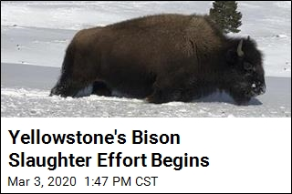 Yellowstone Capturing Bison for Possible Slaughter