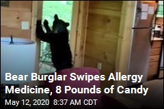 Bear Burglar Swipes Allergy Medicine, 8 Pounds of Candy