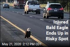 Bald Eagle Saved From Risky Spot