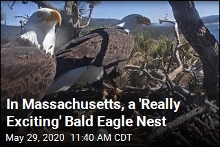 In Massachusetts, a 'Really Exciting' Bald Eagle Nest