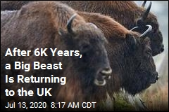 After 6K Years, a Big Beast Is Returning to the UK