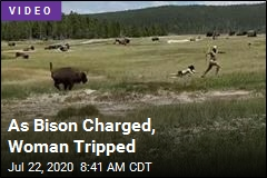 As Bison Charged, Woman Tripped
