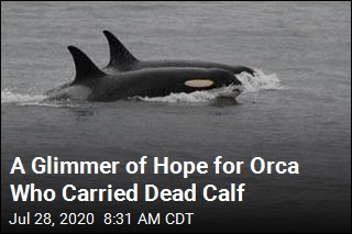 Orca Who Carried Dead Calf Is Pregnant