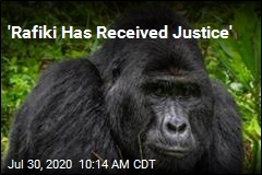 Poacher Gets 11 Years for Killing Rare Gorilla