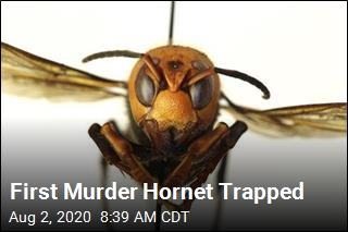 Wash. Nabs Its First 'Murder Hornet'