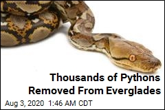 Thousands of Pythons Removed From Everglades