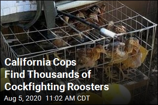 Cops: Up to 3K Cockfighting Roosters Found on Ranch