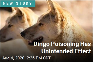 Dingo Poisoning Has Unintended Effect