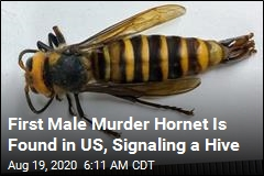 First Male Murder Hornet Is Found in US, Signaling a Hive