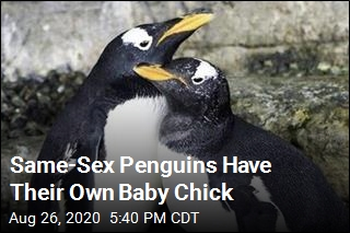 Same-Sex Penguins Have Their Own Baby Chick
