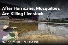 After Hurricane, Mosquitoes Are Killing Livestock