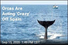 Orcas Are Acting 'Crazy' Off Spain