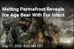 Ice Age Bear Found With Fur, Organs Intact
