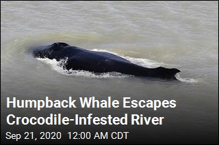 Humpback Whale Escapes Crocodile-Infested River