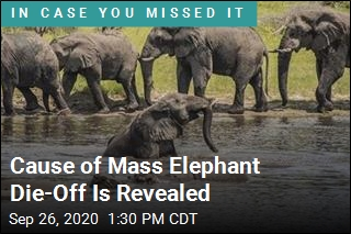 Cause of Mass Elephant Die-Off Is Revealed