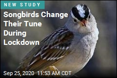 Weird Pandemic Result: 'Sexier' Bird Songs