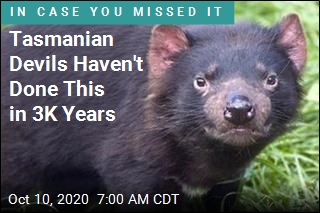 Tasmanian Devils Haven't Done This in 3K Years