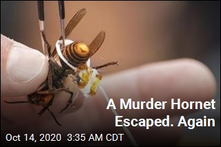 A Murder Hornet Escaped. Again