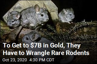 To Get to $7B in Gold, They Have to Wrangle Rare Rodents