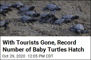 With Tourists Gone, Record Number of Baby Turtles Hatch