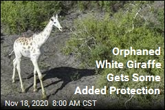 Orphaned White Giraffe Gets Some Added Protection