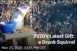2020's Latest Gift: a Drunk Squirrel