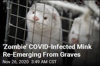 COVID-Infected Mink Re-Emerging From Graves