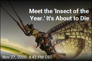 Honored Insect Has Little Time to Celebrate