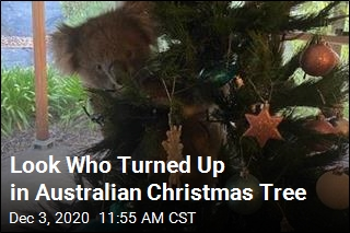 Very Australian Guest Invades Family's Christmas Tree