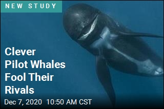 Pilot Whales Have Tricky Way to Fool Enemies