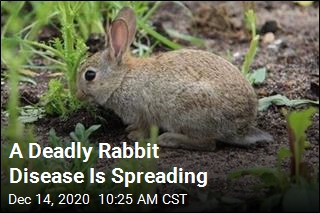 A Deadly Rabbit Disease Is Spreading