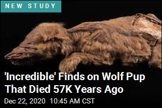 Here's How Mummified Ice Age Wolf Pup Likely Died