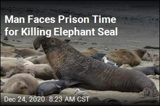 Man Faces Prison Time for Killing Elephant Seal