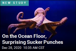 Octopuses Seem to Enjoy Randomly Punching Fish
