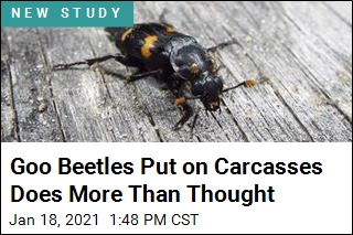 Goo That Beetles Spread on Carcasses Is Kind of Amazing