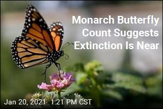 Monarch Butterfly Count Suggests Extinction Is Near