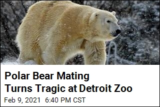 Polar Bear Mating Turns Tragic at Detroit Zoo