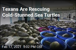 Texans Are Rescuing Cold-Stunned Sea Turtles
