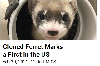 Some Good News for Black-Footed Ferrets