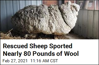 Rescued Sheep Sported Nearly 80 Pounds of Wool