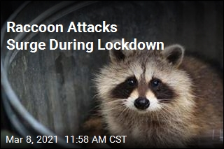 Pandemic Drives 62% Increase in Raccoon Attacks