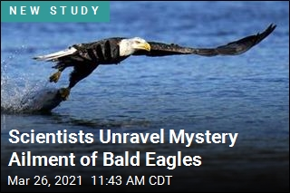 Scientists Unravel Mystery Ailment of Bald Eagles