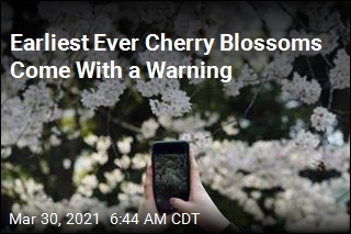 Earliest Ever Cherry Blossoms Come With a Warning