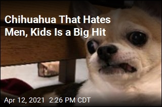 Chihuahua That Hates Men, Kids Is a Big Hit
