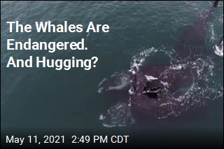 Video Captures Whales in What Looks Like a Hug