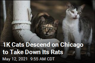 1K Cats Descend on Chicago to Take Down Its Rats